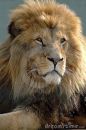 Free African Lion Stock Photo - 12740