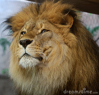 Free African Lion Stock Image - 189441