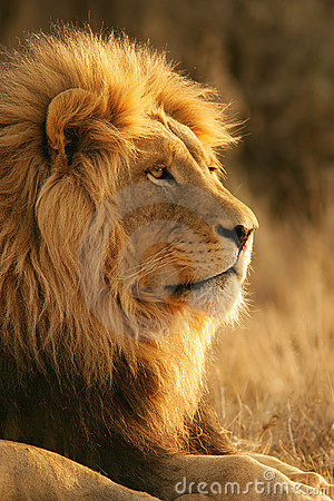 Free African Lion Royalty Free Stock Image - 545736