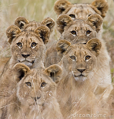 Free African Lion Royalty Free Stock Image - 6785806