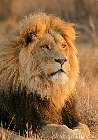 Free African Lion Stock Image - 724951