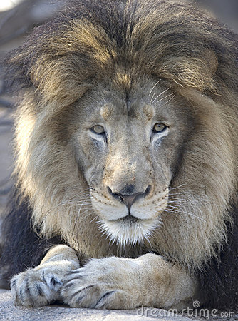 African lion adult male looking at camera