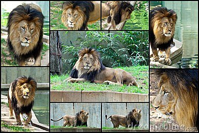African Lion Collage Set