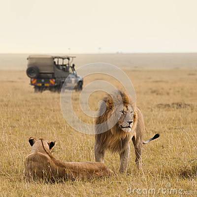 Free African Lion Couple And Safari Jeep Stock Images - 36509094