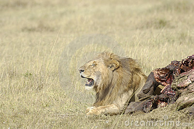 African lion and his kill