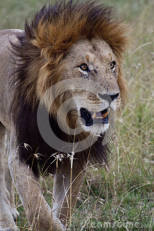 African Lion in Kenya
