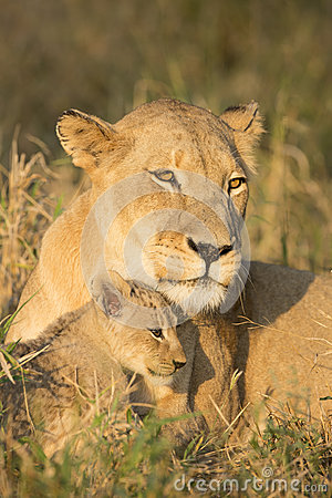 Free African Lion Mother And Cub (Panthera Leo) South Africa Royalty Free Stock Photography - 37966027