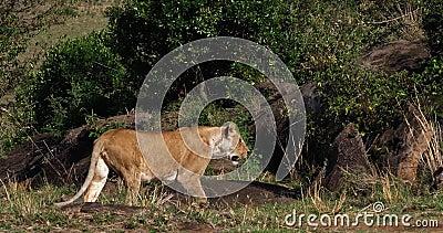 African Lion, panthera leo, Female walking through the Bush, Masai Mara  Park in Kenya,