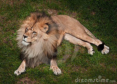 African Lion (Panthera leo krugeri)