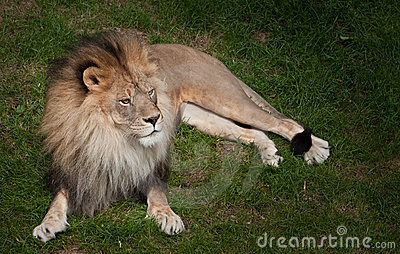 African Lion (Panthera leo krugeri) in the Grass