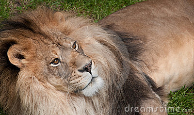 African Lion (Panthera leo krugeri) Looks Up