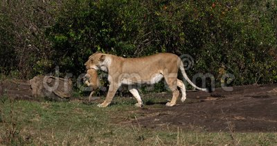 African Lion, panthera leo, Mother carrying Cub in its Mouth, Masai Mara  Park in Kenya,