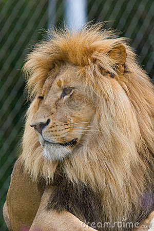 African Lion (Panthera leo) in a zoo