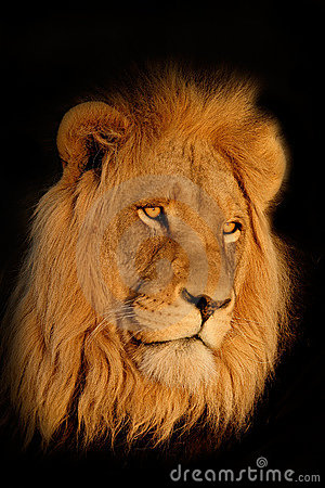 African lion portrait
