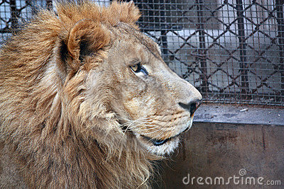 African lion-side face