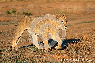 African lion stalking