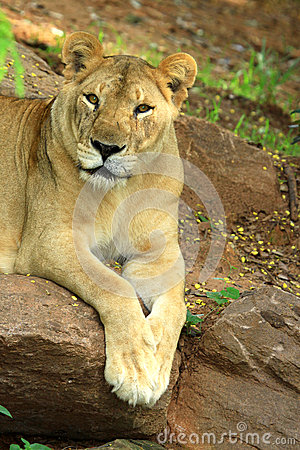 African lion staring