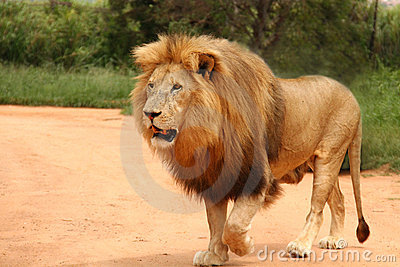 African lion walking