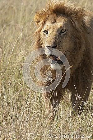 African lion  walking in savannah