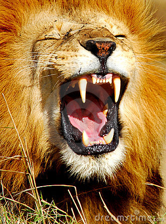 Free African Lion Yawning Royalty Free Stock Photography - 1751227