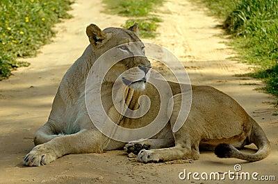 African lioness road block