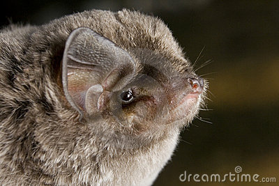 African Long-Fingered Bat (Miniopterus africanus)
