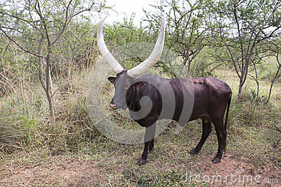 African long horned cattle