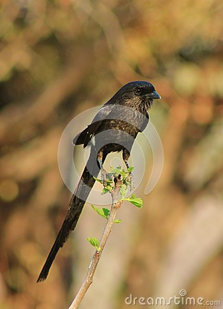 African Longtailed Shrike - Earth s Feathers