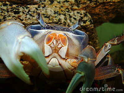 African Moon Crab
