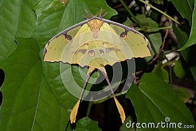 African Moon Moth (Argema mimosae)