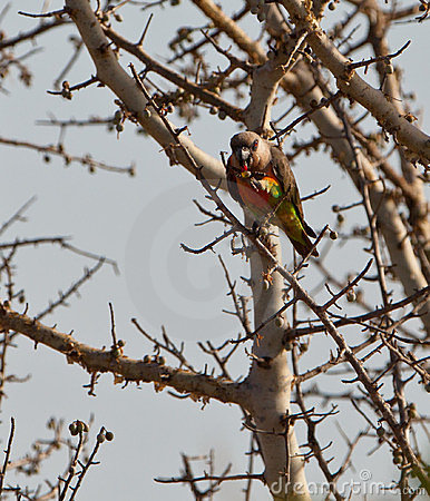 African Orange-bellied parrot eating fruits