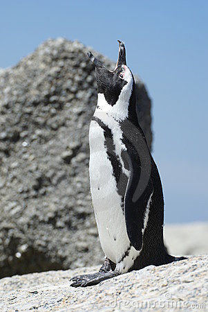 African penguin with open mouth