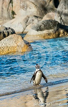 Free African Penguin  Spheniscus Demersus Royalty Free Stock Images - 82598809