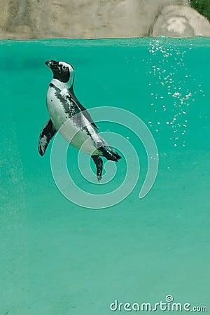 African Penguin underwater