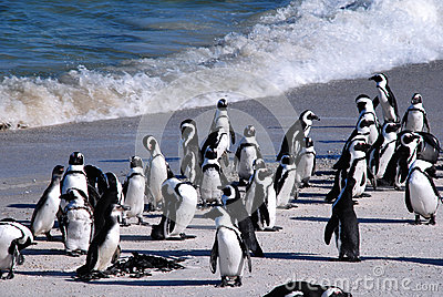 African penguins at Boulder Beach(South Africa)