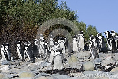 The African Penguins on Robben Island Cape Town So