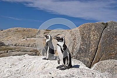 African penguins on rock
