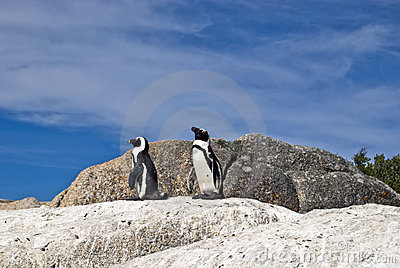 African penguins on rock