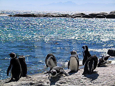 African penguins on Rocks by the sea