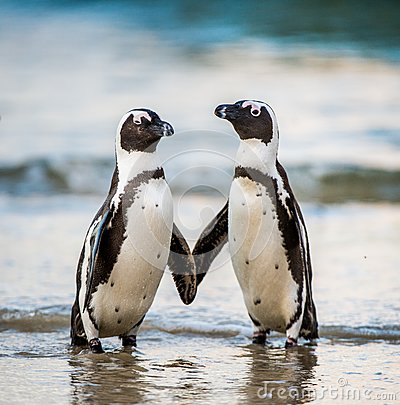 Free African Penguins. Spheniscus Demersus Royalty Free Stock Photos - 80974098
