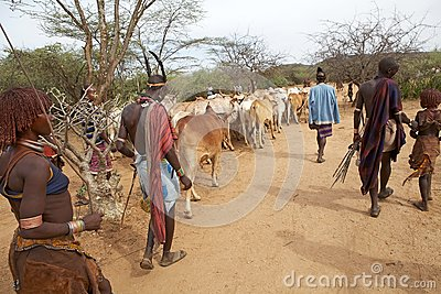 African people and cattle Editorial Photo
