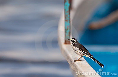 An African Pied Wagtail on a boat