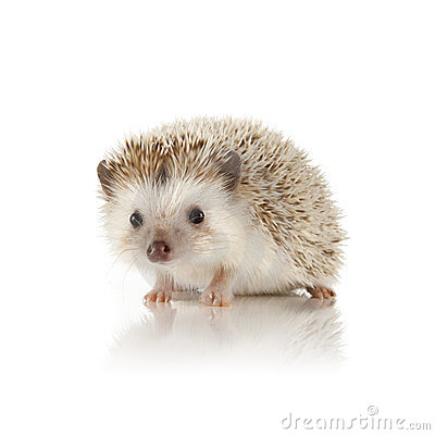 Free African Pygmy Hedgehog Royalty Free Stock Photos - 24134148