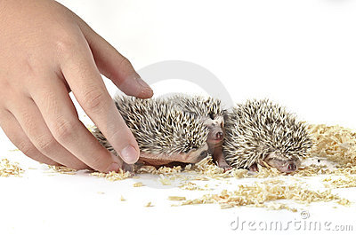 African pygmy hedgehog and one hand
