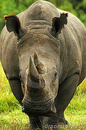 Free African Rhino Royalty Free Stock Photo - 1870085