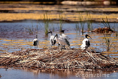 African Sacred Ibis on nest