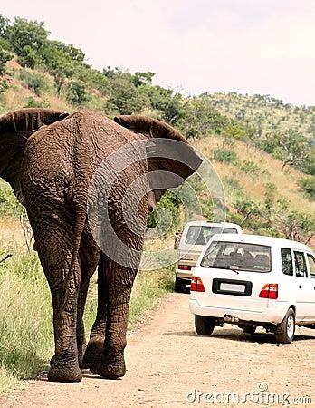 African safari. Elephant
