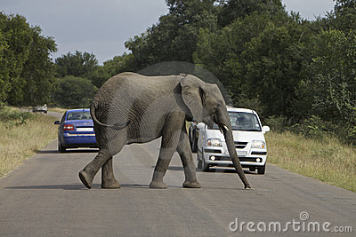 African Safari Elephant, cross the road