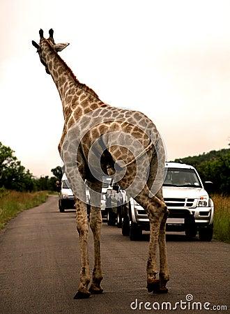 African safari. Giraffe