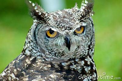 African Scops Owl Profile 2